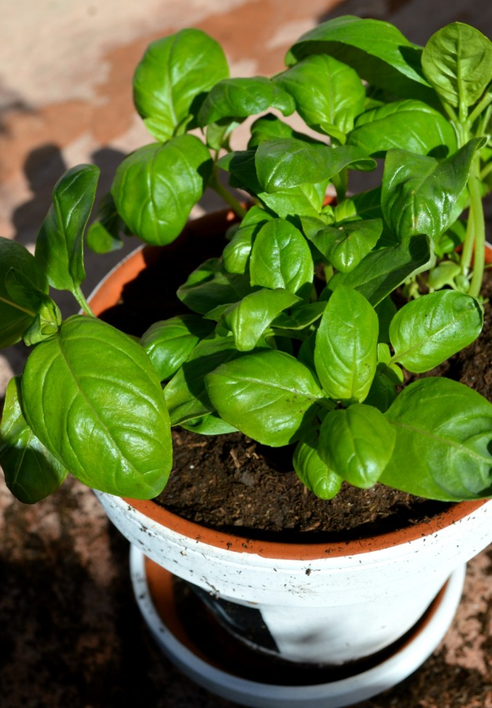 Basil in pot